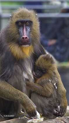 Mother and Baby by Vladimir Borisov Types Of Monkeys, Baboon, Love And Respect, Gorillaz, Mother And Baby, Orangutan, Wild And Free, Gal Gadot, Mommy And Me
