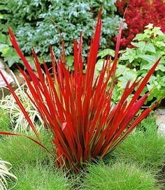 Siergras 'Red Baron'