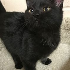 I am at a kill shelter in Troy, Ohio - Domestic Shorthair. Meet Midnight, a for adoption. https://www.adoptapet.com/pet/20442062-troy-ohio-cat