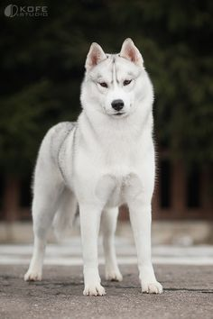 Wonderful All About The Siberian Husky Ideas. Prodigious All About The Siberian Husky Ideas. Beautiful Dogs, Animals Beautiful, Cute Animals, Cute Puppies, Cute Dogs, Dogs And Puppies, Doggies, Havanese Puppies, Terrier Puppies