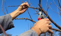 Hiring an arborist tree service may seem like an expensive proposition, but it is something that you should seriously consider if you have trees in your garden. Prune Fruit, Pruning Fruit Trees, Tree Pruning, Fruit Trees For Sale, Natural Male Enhancement Pills, Weeping Cherry Tree, Fast Growing Trees, Home Landscaping, Garden Accessories
