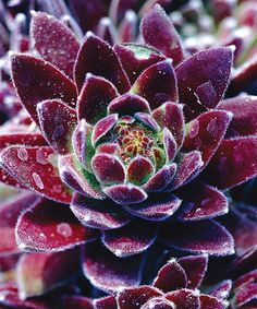 Take a look at this Live Red 'Hens & Chicks' Plant - Set of Three today!
