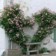 heart shaped climbing roses