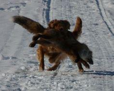 Golden Retriever Hunting | golden retriever retrieves fox