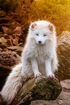 heaven-ly-mind: Polarfox in Sunset