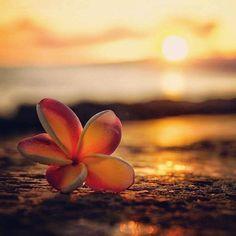 Il mio sole tramonta per rinascere. Beautiful Nature Wallpaper, Beautiful Sunset, Beautiful Images, Beautiful Flowers, Sunset Wallpaper, Flower Wallpaper, Wallpaper Backgrounds, Hawaiian Flowers, Plumeria Flowers