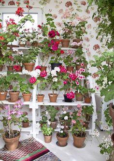 Pelargoniharrastaja hurahti pelargoneihin niin, että hän enää muita kasveja kaipaakaan. Lisäksi pelargoneille piti rakentaa oma romanttinen kukkatalo.