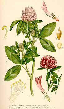 Lindman, C.A.M., Bilder ur Nordens Flora, vol. 2 (1922) number of illustrations in this volume: 277