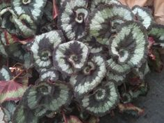 Begonia 'Escargot' So cool!