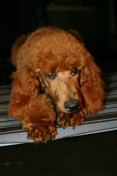 Beautiful Penny! Top Dog Breeds, Horse Breeds, Red Poodles, King Do, Dog Training Classes, White Puppies, Standard Poodles, Dog Daycare, Fur Babies