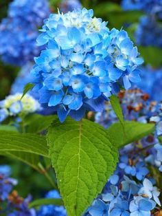 Hydrangea - What a Gorgeous Blue!