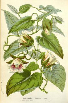 v.12 (1857) - Flore des serres et des jardins de l'Europe - Biodiversity Heritage Library
