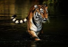 "Tiger ""Ahimsa takes the water way"" by Michael Rehbein on 500px"