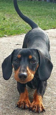 Follow us if you love doxies❤️ @AnimalBehaviorC #doxie #wienerdogs #dachshunds