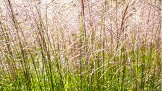 5 Ornamental Grasses Perfect for September | Grow Beautifully