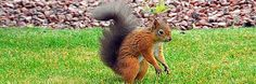 Red squirrel in garden (c) the Cowie family