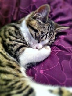 little brown tabby curled up on a pillow