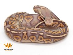 Cinnamel Ball Python - love the color of this one
