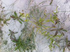 Herbs from the beach - North Sea