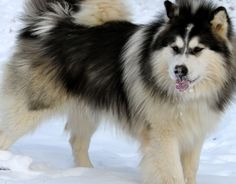 Alaskan Malamute Images will show you how beautiful of a breed this is. Giant Alaskan Malamute, Alaskan Malamute Puppies, Malamute Dog, Husky Puppy, New Puppy, Dangerous Dogs, Snow Dogs, Wild Dogs, Fluffy Animals
