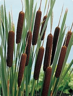 pond plant typha latifolia, cat tail...I wish I had a pond for these...they always make me want to touch them.