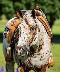 Appaloosa portrait,  beautiful! Join EPNet