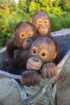 Orangutan Rescue   International Animal Rescue