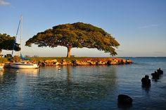 Monkey Pod Tree at Hickam AFB, via Flickr.