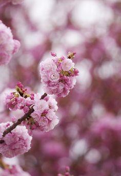 ✿* sakura...reminds me of my time spent living in Japan. Beautiful!