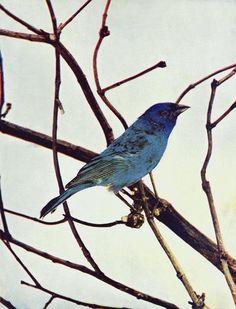 Animal - Rare Book - Birds Illustrated by Color Photograph May 1897 - Indigo Bird