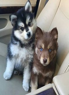 Baby Siberian Husky puppy