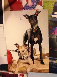 #nationaldogday love my greyhounds!