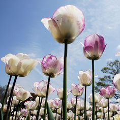 Tulips - one of my favourite flowers. This site also gives a tutorial on how to photograph flowers.