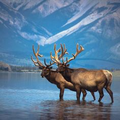 Two mature Bull Elk wading in a lake prior to shedding their velvet and the start of the rut Elk Pictures, Buffalo Pictures, Hunting Pictures, Reptiles And Amphibians, Mammals, Beautiful Creatures, Animals Beautiful, Water Deer, Moose Deer