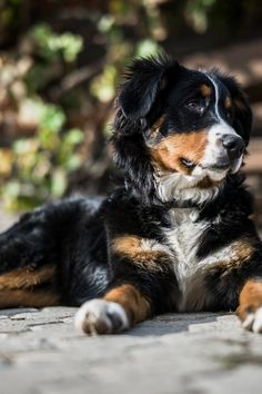 Dog training tips and tricks. Many people assume that dog training is difficult. Several also assume that some dogs are simply not really trainable. Those two perspectives are completely wrong. The simple truth of the matter is this fact: all dogs are trainable, and schooling a dog doesn't need to be challenging work.