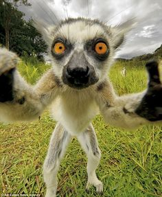 Newest selfies - animals - Ready for my close-up: A lemur grabs hold of a camera before taking this selfie