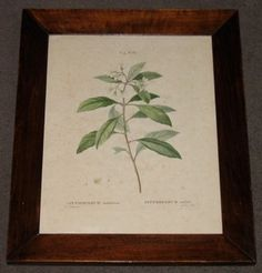 redoute botanicals french 1800 hand coloured engraving 15.25 x 18.5 PAIR $710  - 2