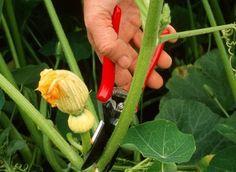 La taille au potager Bien tailler les légumes au potager ne s'mprovise pas…
