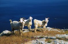 goats in Knidos (Datcha - Turkey)