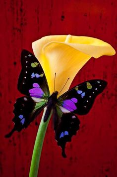 A BUTTERFLY AND A CALLA LILY