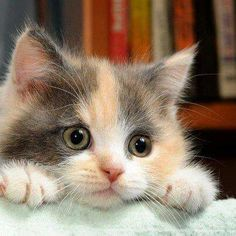 "* * CALICO KITTEN: "" Wif de advent of Twitter and Feces Book; humans haz entered de Too-Much-Info-Age."" #cat #cats"