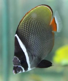 Red-tailed Butterflyfish  (Chaetodon collare)