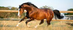 Lissabon 1999 Bay Oldenburg Stallion imported from Germany