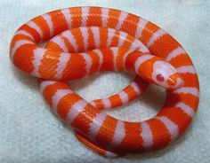 I never thought much of milk snakes, until I saw this.  Albino tangerine honduran hatchling.