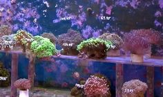 We would like to think that the aquarium hobbyist community put the pressure on them. (that's our story and we're sticking to it!) Way to go peeps! Coral thieves turn themselves in