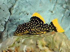 1 x L18 GOLDEN NUGGET PLECO (LARGE SPOT) CATFISH ALGAE TROPICAL FISH