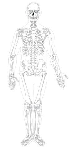 File:Human skeleton front no-text no-color.svg