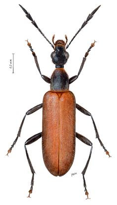 Steropes hercules (Anthicidae)