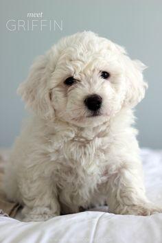 Meet Griffin, Bichon Frise puppy || katelynbrookeblog.com