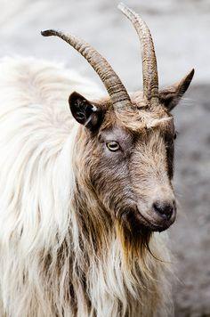 Goat/Stockholm